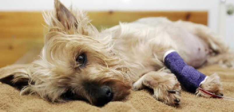 парвовирусный энтерит у собак симптомы